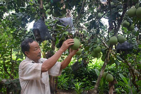 Ông Bộ thành công với mô hình trồng cây ăn ăn quả. Ảnh: L.H