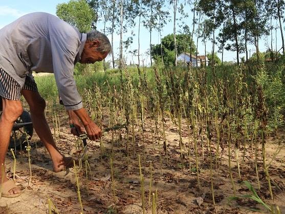 Cây mè vừa mất mùa, rớt giá, nên nông dân vũng cát phải cắt bỏ để dọn đất làm vụ khác.