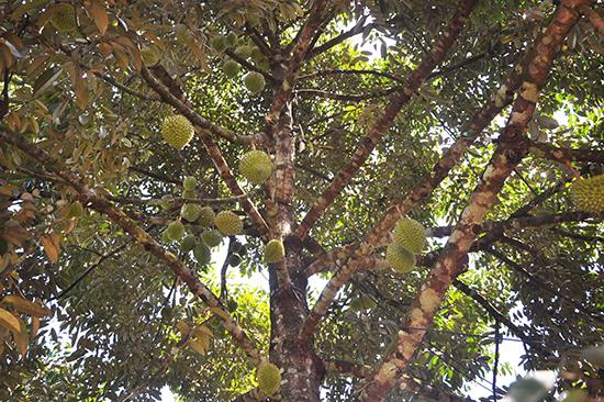 Đến mùa sầu riêng cho quả, anh Bảy Khoa có nguồn thu bình quân 5 triệu đồng/cây. Ảnh: N.Đ.AN