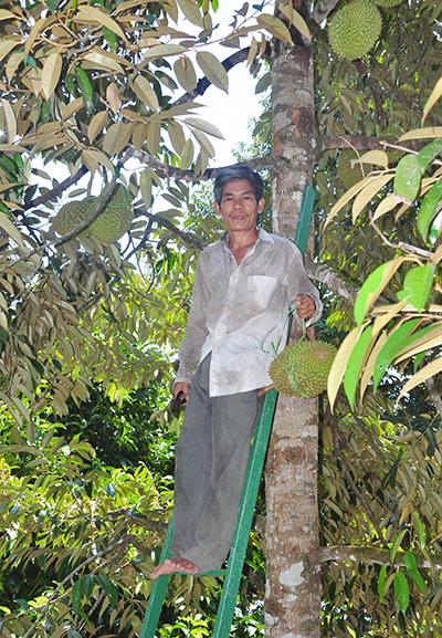 Anh Bảy Khoa thu hoạch sầu riêng.