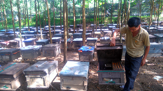 Ông Ngô Nhiều (thôn 2, xã Sông Trà) phải bỏ ra khoản tiền lớn mỗi ngày để cố duy trì đàn ong 200 thùng.