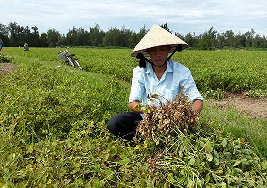Nhờ áp dụng cơ giới hóa, năng suất đậu phụng ở Bình Nam tăng lên đáng kể. Ảnh: Tân Biên