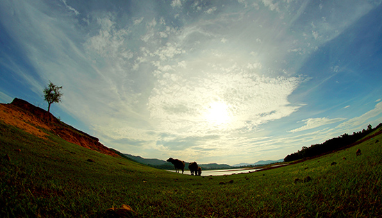 Trâu, bò gặm cỏ bên hồ.
