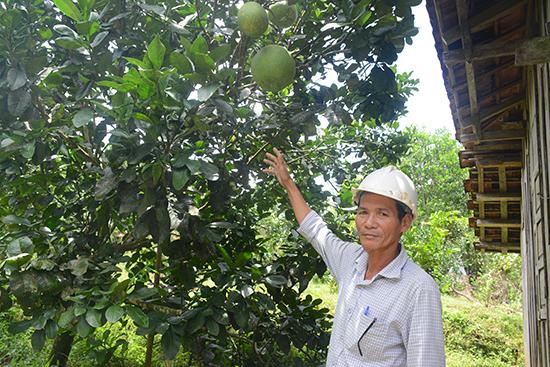 Vườn cây thanh trà của ông Lê Tự Hùng (xã Trà Tân) mang lại lợi ích kinh tế cao. Ảnh: N.DƯƠNG