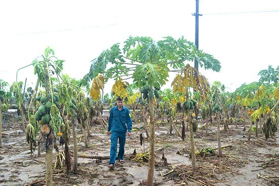 Nông dân Quảng Nam chịu thiệt hại nặng nề trong đợt bão lũ vừa qua. Ảnh: Q.VIỆT