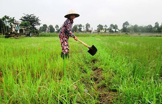 Nông dân cần khẩn trương vệ sinh đồng ruộng và cày lật gốc rạ nhằm hạn chế nguồn bệnh. Ảnh: N.P