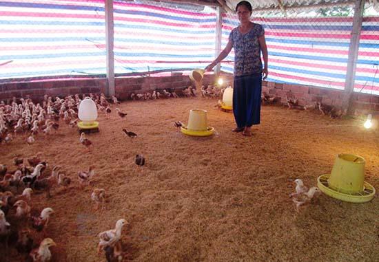 Trang trại nuôi gà thương phẩm của bà Phan Thị Thanh ở thôn Phước Thành (xã Quế Thuận, Quế Sơn) mỗi năm cho lãi ròng 125 triệu đồng. Ảnh: N.P