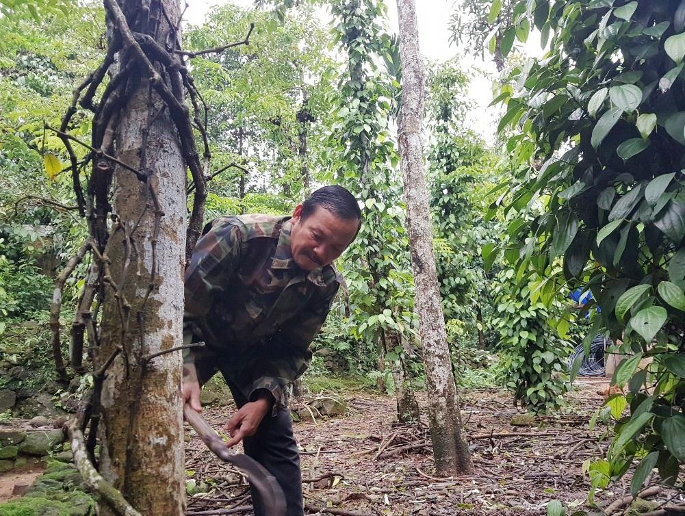 Ông Nguyễn Thế Kỳ phải chặt bỏ những cây tiêu chết để chuẩn bị trồng mới - Ảnh: THANH THẮNG.