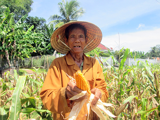 Mô hình trồng bắp lai trên đất lúa ở xã Quế Châu (Quế Sơn) mang lại hiệu quả kinh tế cao. Ảnh: N.P