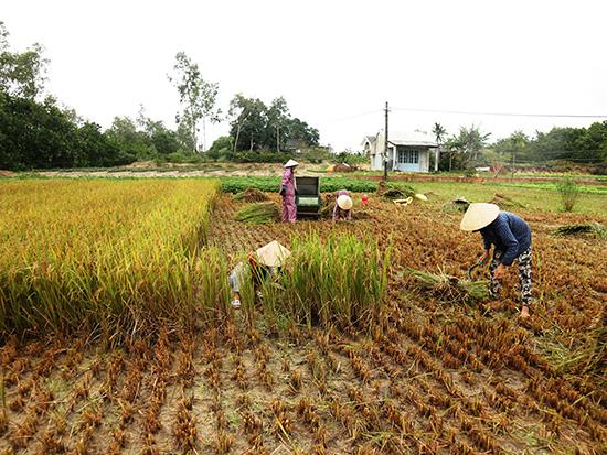 Ở vùng đông Duy Xuyên đang là thời điểm nông dân thu hoạch lúa nước trời. Ảnh: CHÂU TẤN