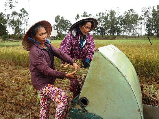 Vì cánh đàn ông đều đi làm ăn xa nên những phụ nữ ở vùng cát Duy Xuyên thường đổi công cho nhau để thu hoạch lúa. Ảnh: CHÂU TẤN