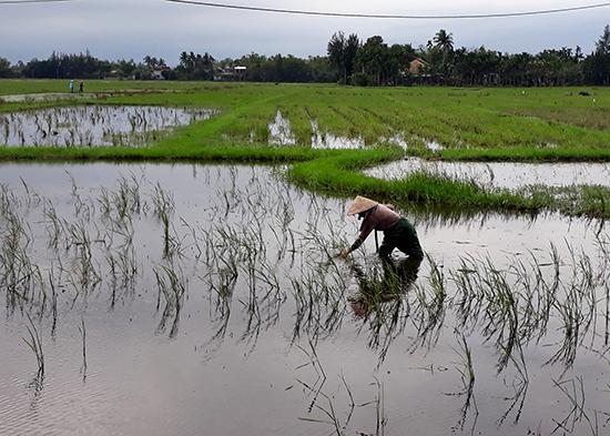 Nông dân xã Bình Đào đang làm cỏ ruộng chuẩn bị gieo sạ. Ảnh: Biên Thực