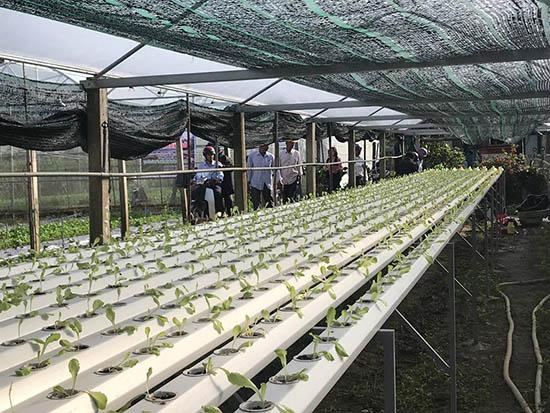 Mô hình trồng rau trong nhà lưới đã chứng minh sự hiệu quả tại vùng đông Điện Bàn.  Ảnh: Q.TUẤN