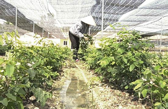 Một diện tích lớn đất nông nghiệp của người dân xã Tam Đàn được giao lại cho HTX Thực phẩm sạch Phú Ninh để sản xuất rau hữu cơ. Ảnh: V.A
