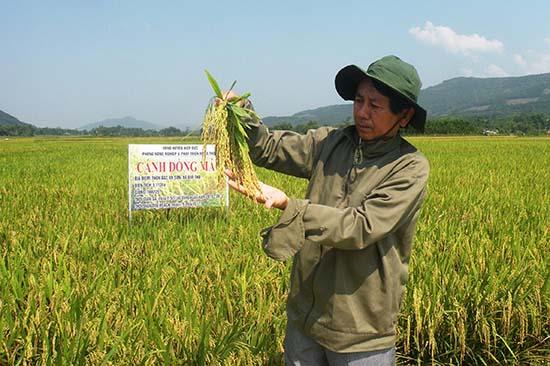 Cần đẩy mạnh việc liên kết sản xuất giống lúa hàng hóa để nâng cao giá trị kinh tế và ổn định đầu ra sản phẩm.Ảnh: VĂN SỰ