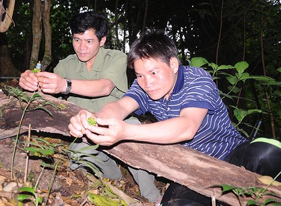 Taking care of Ngoc Linh ginseng