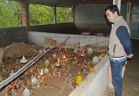 Mô hình chăn nuôi gà ở HTX Nông nghiệp - dịch vụ Phú Phong (xã Bình Trung, Thăng Bình). Ảnh: Q.T