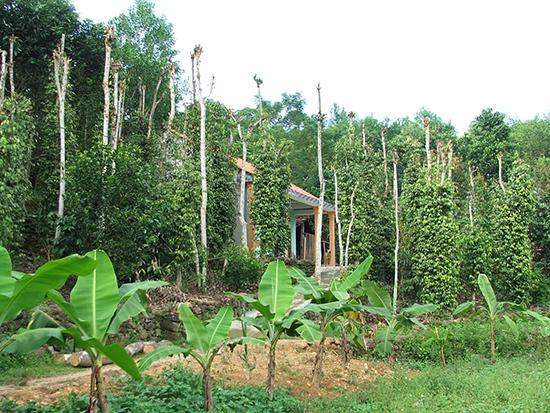 Vườn tiêu Tiên Phước. Ảnh: N.Đ.AN