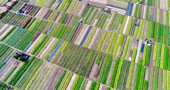 Làng rau Trà Quế nhìn từ trên cao đẹp như một bức họa đồng quê.