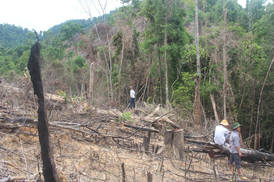 Chú thích ảnh: Diện tích rừng tại Tiểu khu 556 bị chặt phá trái phép.