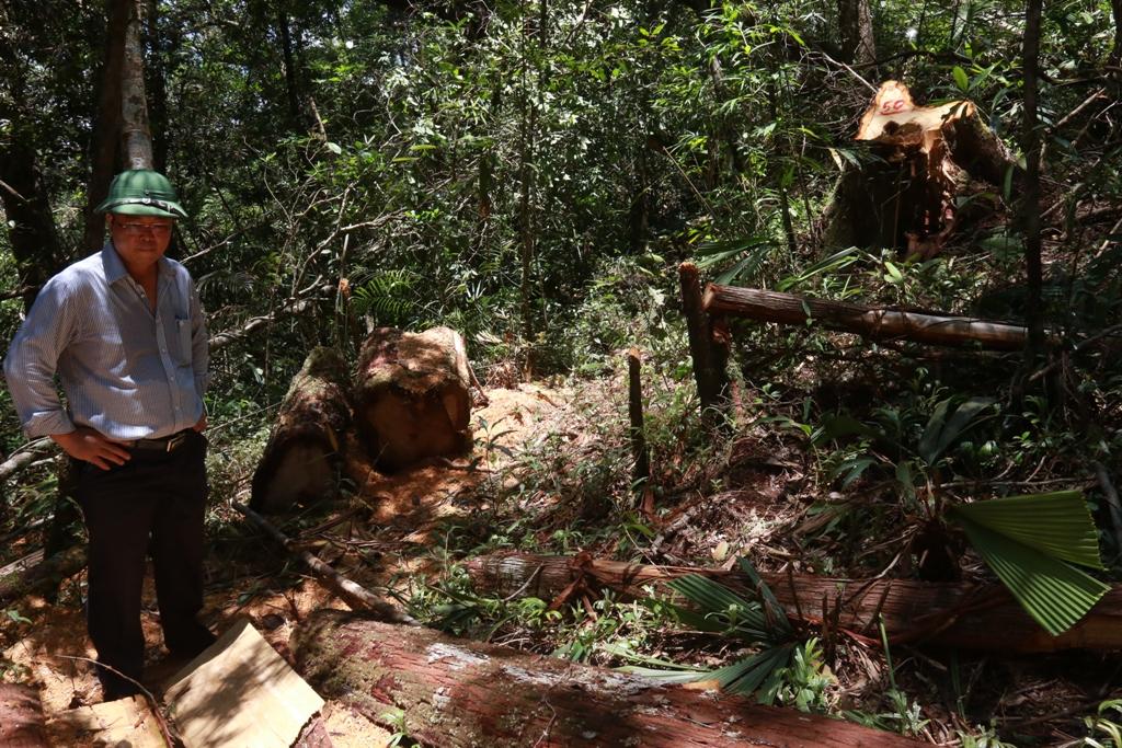 Hiện trường vụ phá rừng pơ mu. Ảnh: T.C