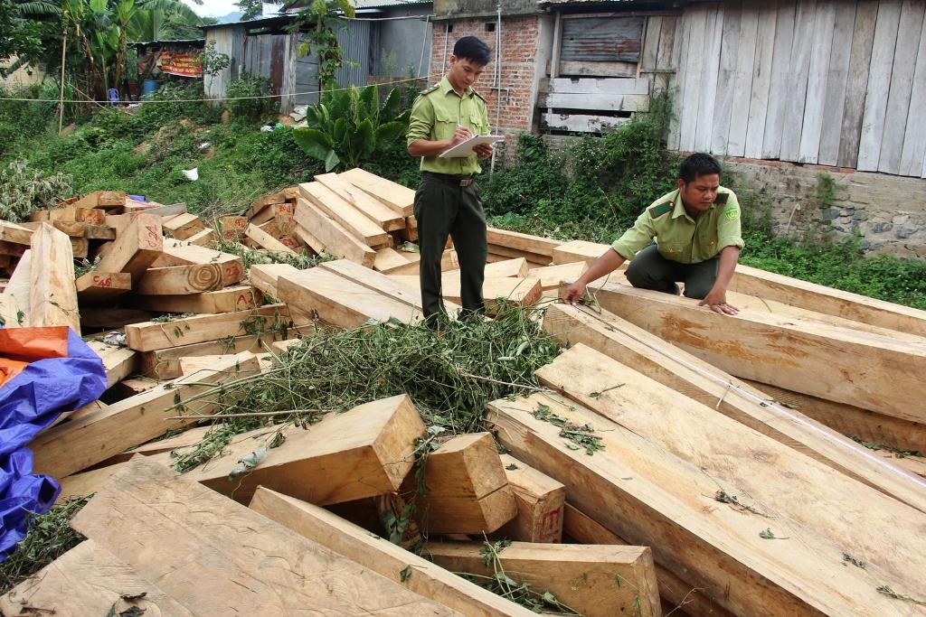 Vụ phá rừng pơ mu gây thiệt hại hơn 3,2 tỉ đồng. Ảnh: T.C