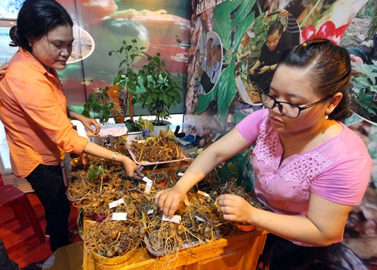 Ngoc Linh ginseng at the monthly fair in Nam Tra My district