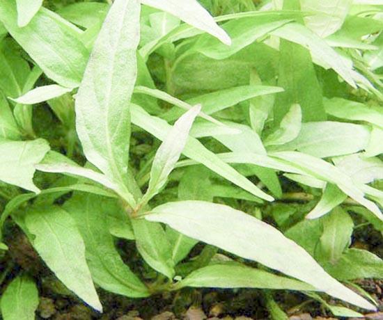 Rau răm không chỉ là cây gia vị quen thuộc, còn là vị thuốc trị cảm cúm, đau bụng, mụn nhọt, nước ăn chân…