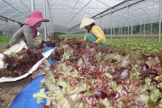 Từng cọng rau đều được người lao động lựa chọn kỹ trước khi giao cho khách hàng.