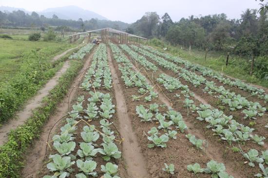 Những giống rau mang về từ xứ lạnh Đà Lạt tỏ ra thích nghi với khí hậu vùng trung du Tiên Phước.