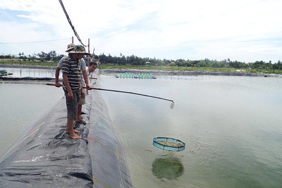 Mô hình nuôi tôm theo hướng VietGAP được TP.Tam Kỳ thực hiện thí điểm dọc sông Trường Giang. Ảnh: X.T