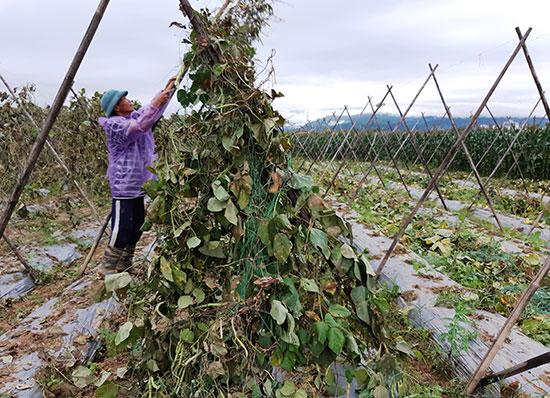 Phá bỏ mấy sào đậu tây đang cho thu hoạch vì mất giá. Ảnh: TRIÊU NHAN