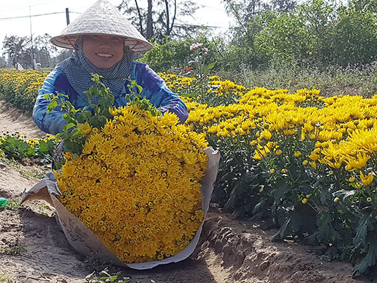 Nông dân trồng hoa tại phường Điện Nam Trung thu hoạch hoa cúc để cung ứng cho thị trường dịp rằm tháng Giêng.  Ảnh: QUỐC TUẤN