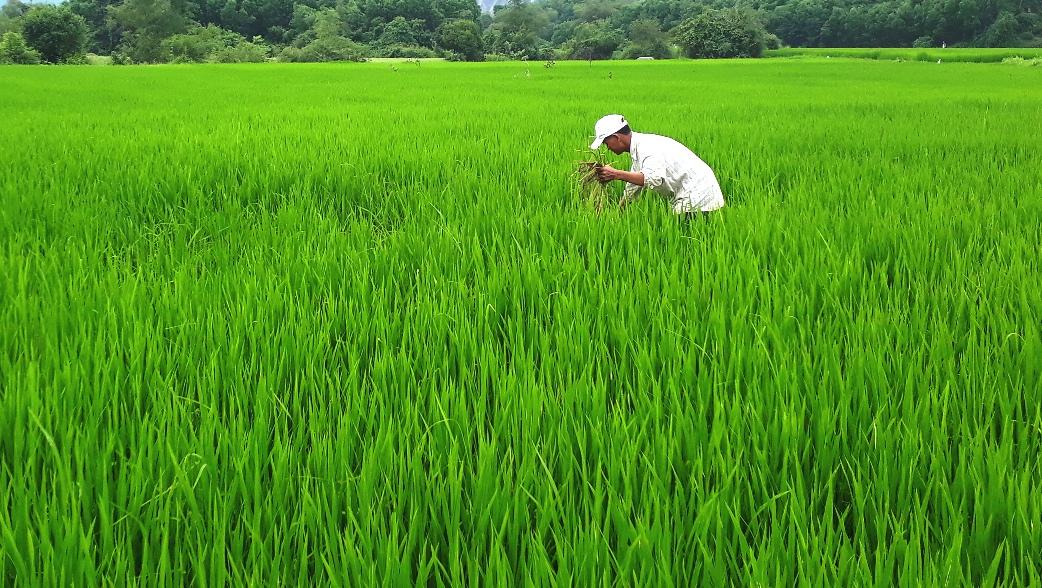 Nhờ phong trào diệt chuột mà diện tích lúa trên địa bàn huyện Nông Sơn không bị hư hại. Ảnh: THÔNG VINH