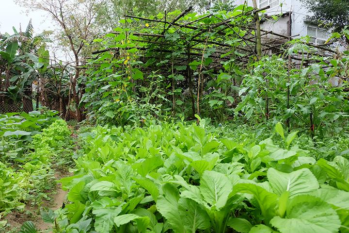 Rất nhiều loại rau xanh được chị em phụ nữ trồng tại vườn của mình. Ảnh: L.Đ