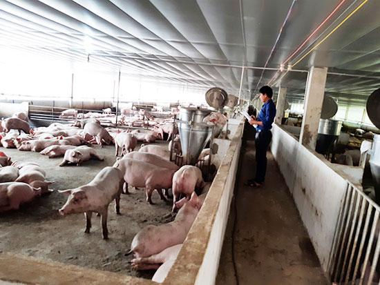 Khu vực chăn nuôi heo gia công với Cipi có tổng diện tích 1,3ha thuộc đất của ông Dương Mười - Giám đốc HTX. Ảnh: H.L