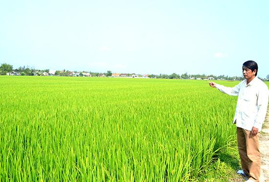 HTX Bình Tú liên kết với doanh nghiệp để sản xuất lúa giống ở thôn Phước Cẩm. Ảnh: V.QUANG