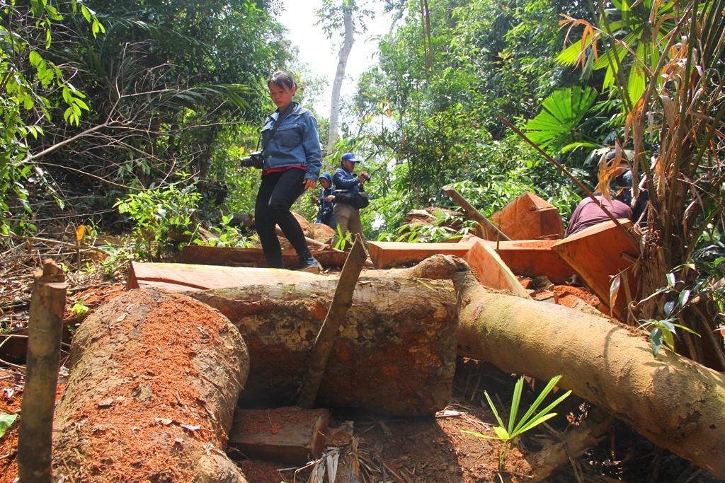 Hiện trường vụ phá rừng lim xanh xảy ra tại khu vưc rừng phòng hộ Nam Sông Bung. Ảnh: A.N