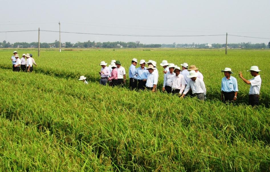 Hợp tác xã nông nghiệp Quế Phú cần hỗ trợ nhiều khâu để đẩy mạnh liên kết sản xuất giống lúa hàng hóa.