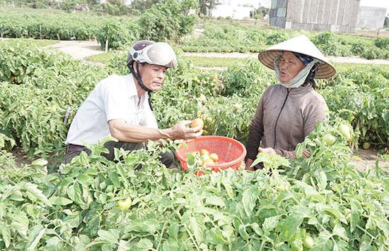 Nông dân khối phố 5 (phường Điện Nam Trung, thị xã Điện Bàn) thu hoạch cà chua vụ cuối vào tháng 4. Ảnh: N.T