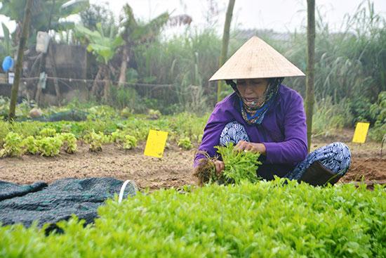 Phát triển nông nghiệp hữu cơ đang được chú trọng tại TP.Hội An. Ảnh: XUÂN THỌ