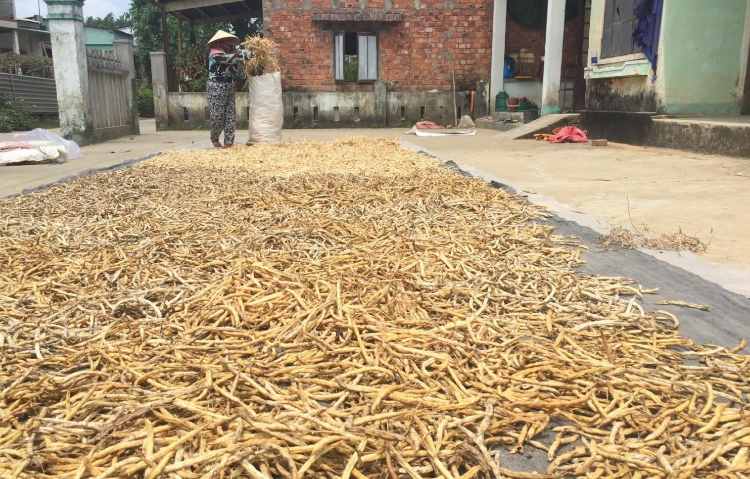 Đã có hơn 90 hộ dân ở thôn Bầu Tròn liên kết sản xuất giống đậu cove leo cho doanh nghiệp. Ảnh: PHAN VINH