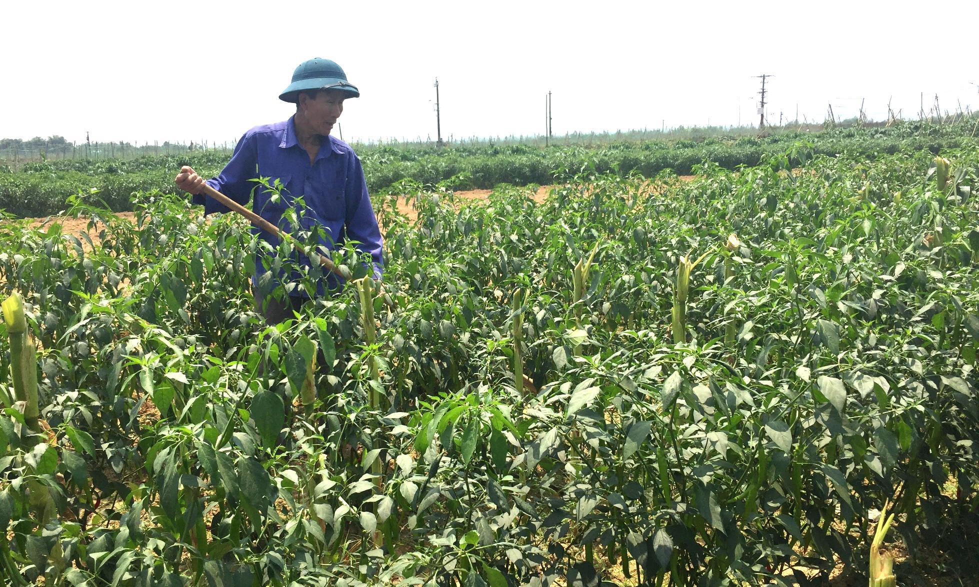 Nếu tạo được uy tín, doanh nghiệp sẽ cung cấp thêm nhiều đối tượng cây trồng khác để người dân sản xuất giống. Ảnh: PHAN VINH