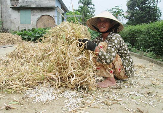 Nông dân Duy Xuyên phấn khởi vì đông xuân này đậu cô ve được mùa, được giá.Ảnh: HOÀI NHI
