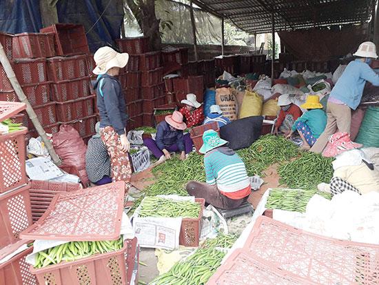 Các tiểu thương thu gom ớt xuất khẩu tại Quảng Nam gặp khó khăn vì thị trường Trung Quốc bế tắc. Ảnh: PHƯƠNG BA