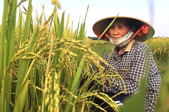 Khi liên kết với doanh nghiệp người dân được tiếp cận với nguồn giống tốt và được bao tiêu nông sản đầu ra. Ảnh: P.V