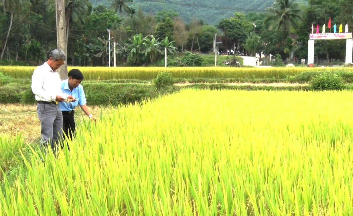 Mô hình lúa áp dụng SRI ở Nông Sơn cho thấy hiệu quả tích cực. Ảnh: THÔNG VINH
