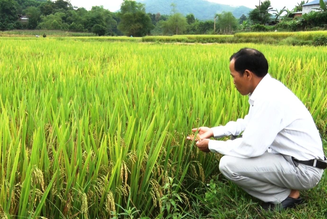 Người dân phấn khởi vì năng suất lúa cao khi được áp dụng mô hình SRI. Ảnh: THÔNG VINH