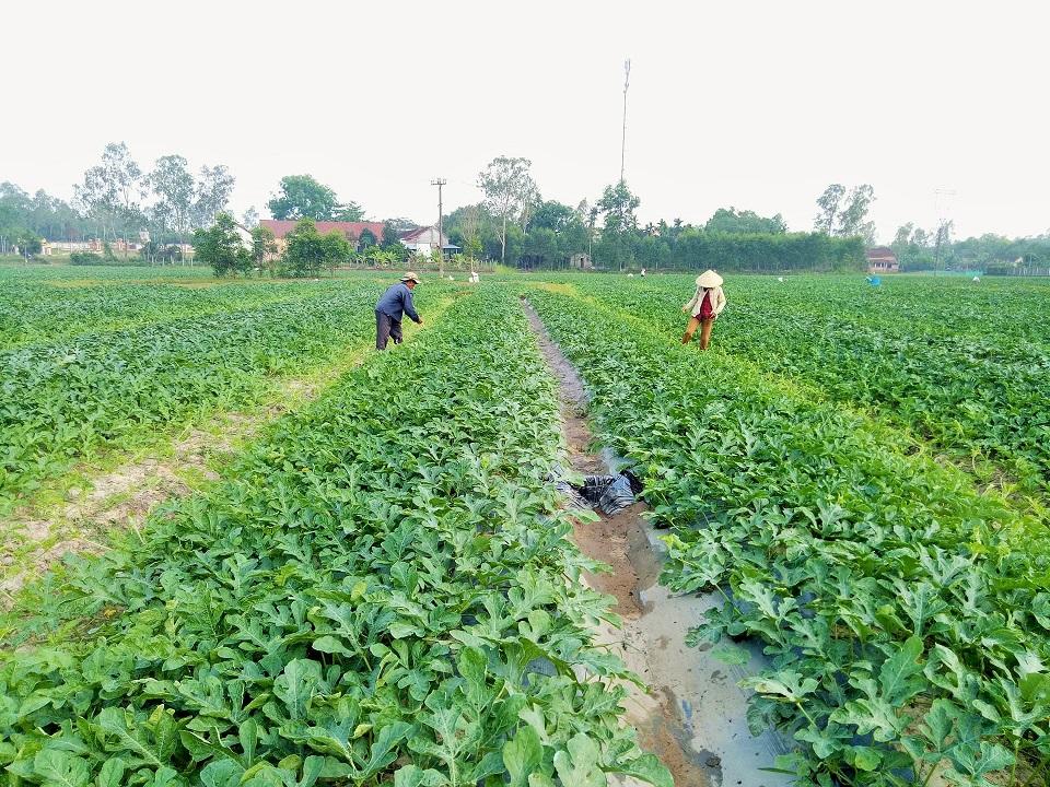 Nghề  trồng dưa theo lối du mục mang lại thu nhập rất cao. Ảnh: THANH THẮNG