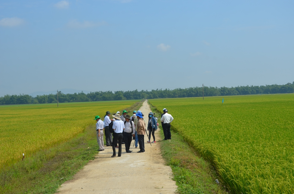 Cánh đồng lúa xã Điện Thọ (thị xã Điện Bàn) sau khi cải tạo đồng ruộng.